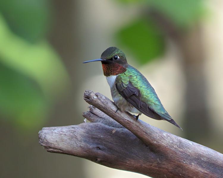 sx50_hummingbird_boas_109.jpg