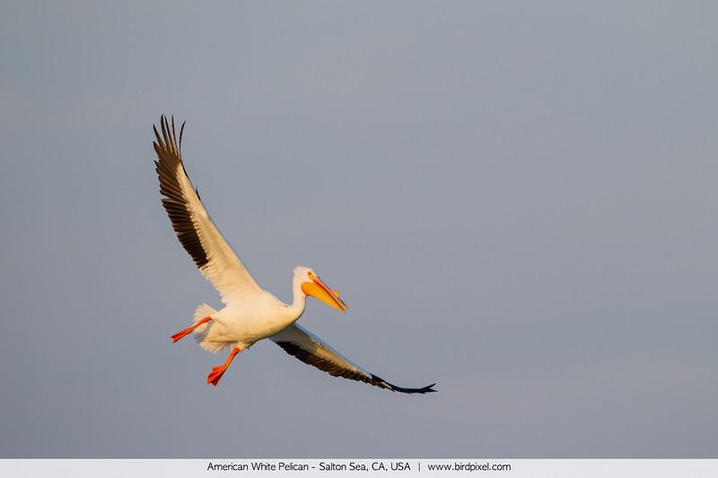 American White Pelican - Salton Sea, CA, USA