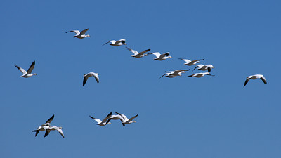 Winter Migration at the Salton Sea