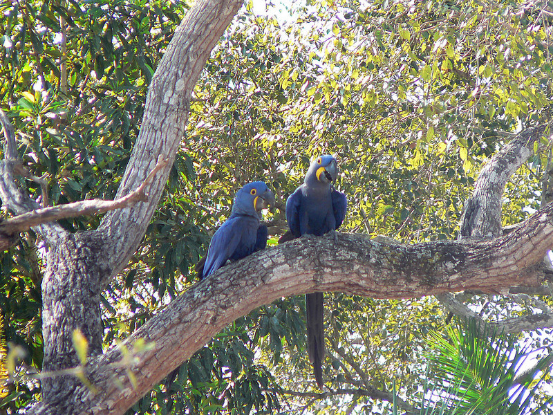 And here are the beautiful and rare Hyacinth Macaws.  The largest parrots in the world.