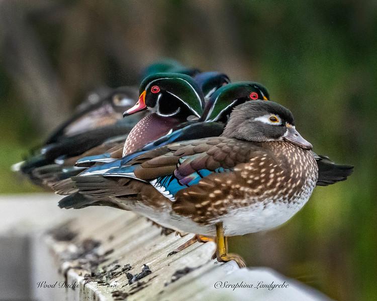_DS01716Wood ducks on Fence.jpg