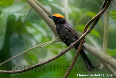Flame-crested Tanager, Peruibe, Brazil