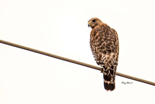 Red-shouldered Hawk 3_DWL5249.jpg