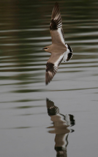 GLAREOLIDAE Coursers and Pratincoles