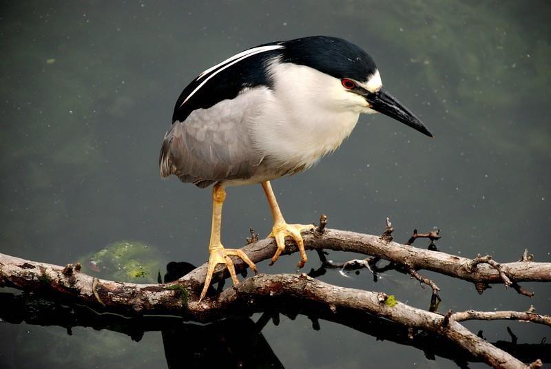 Black-Crowned Night Heron, Chicago
