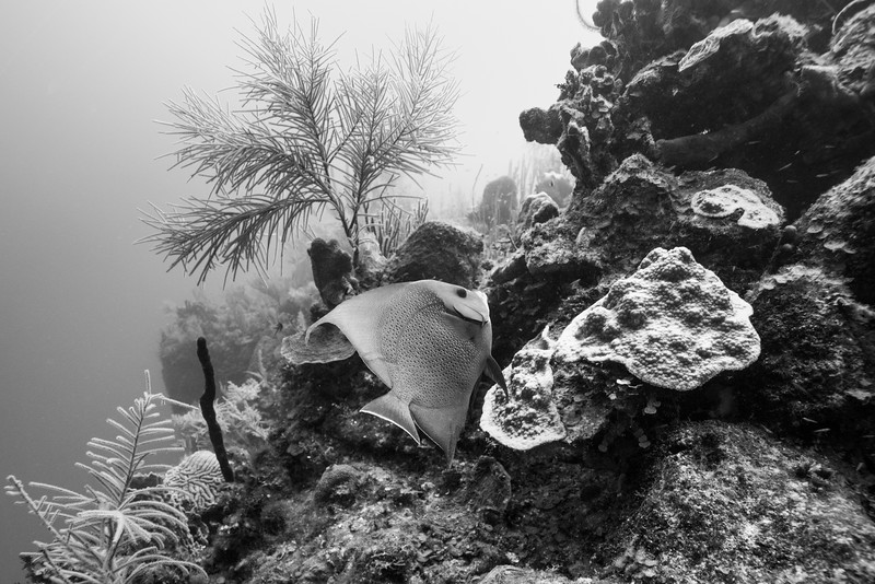 Angelfish and coral underwater, Turneffe Atoll, Belize Barrier Reef, Belize