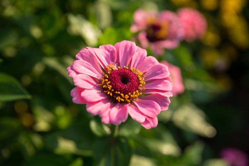 pink daisy at Tudek Park.jpg