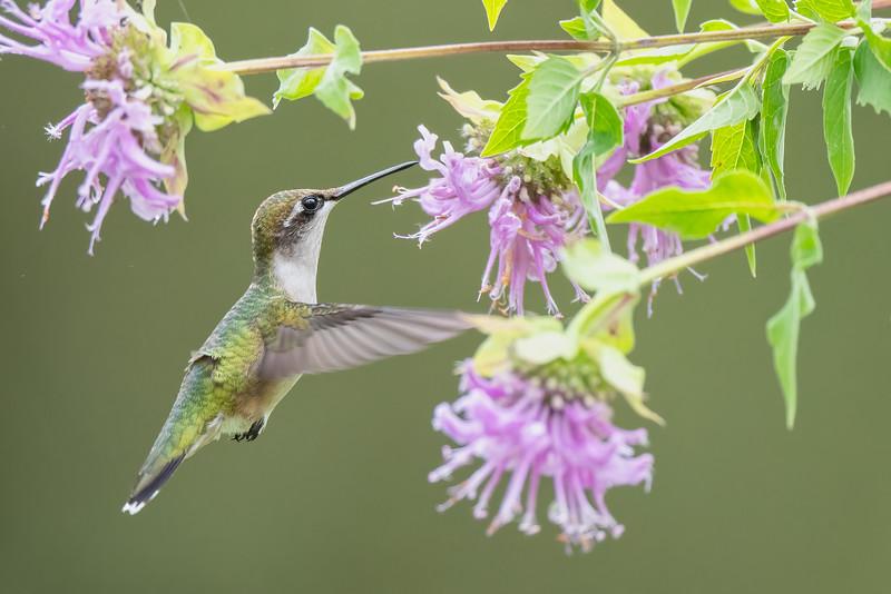 #1730 Ruby-throated Hummingbird