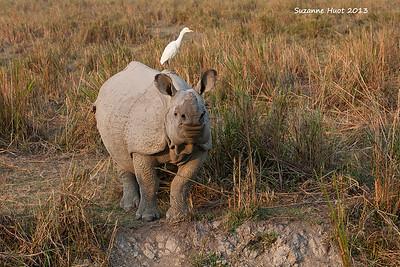Indian Rhinoceros .