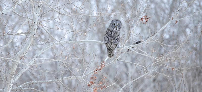 Great Gray Owl along CR5 just N of CR8 Sax-Zim Bog MN  IMGC7721.jpg
