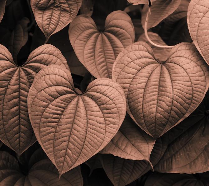 Sepia Hearts