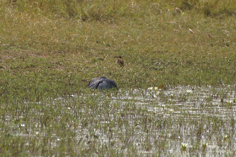 """Black Egret in """"umbrella"""" position"""