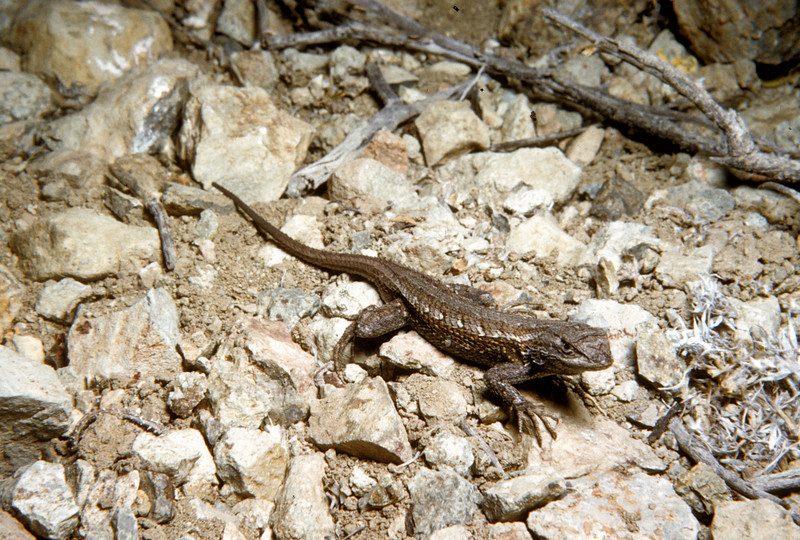 Eastern Fence Lizard (Sceloporus undulatus) Big Bend National Park, TX, 1958