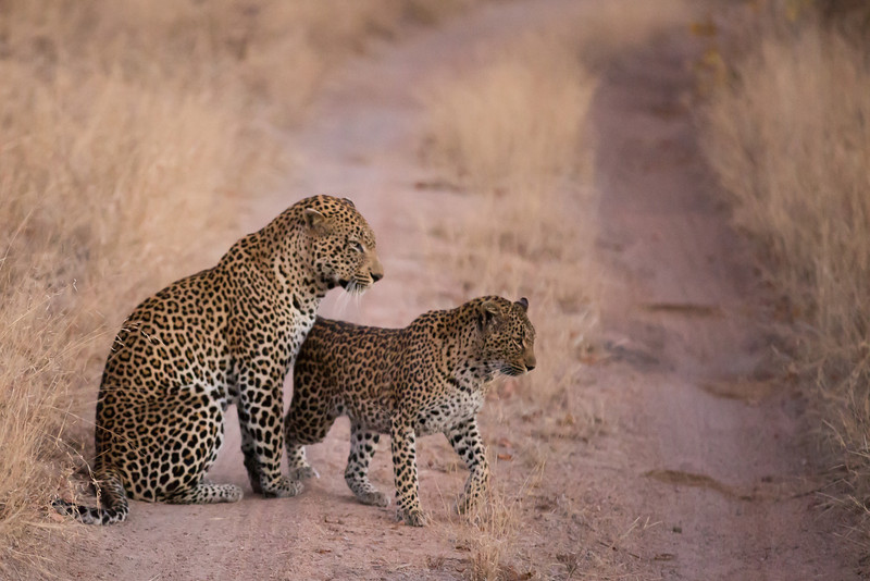"""Leopard mating couple.  Female approaches the male, essentially saying """"I'm ready!"""""""