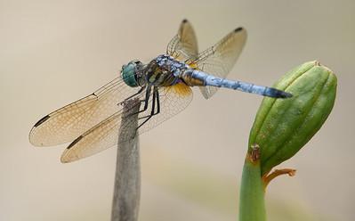 Odonata (Dragonflies & Damselflies)