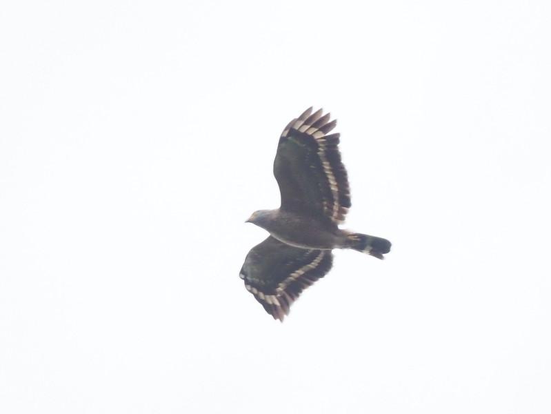 Philippine Serpent-eagle