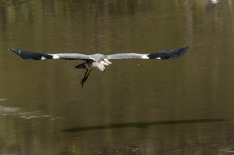 Heron still taking off-7966.jpg