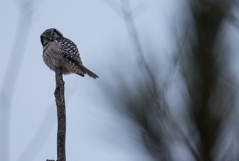 Hawk owl-9456.jpg