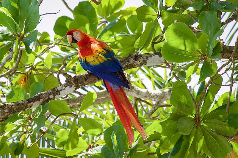 Scarlett Macaw; Costa Rica