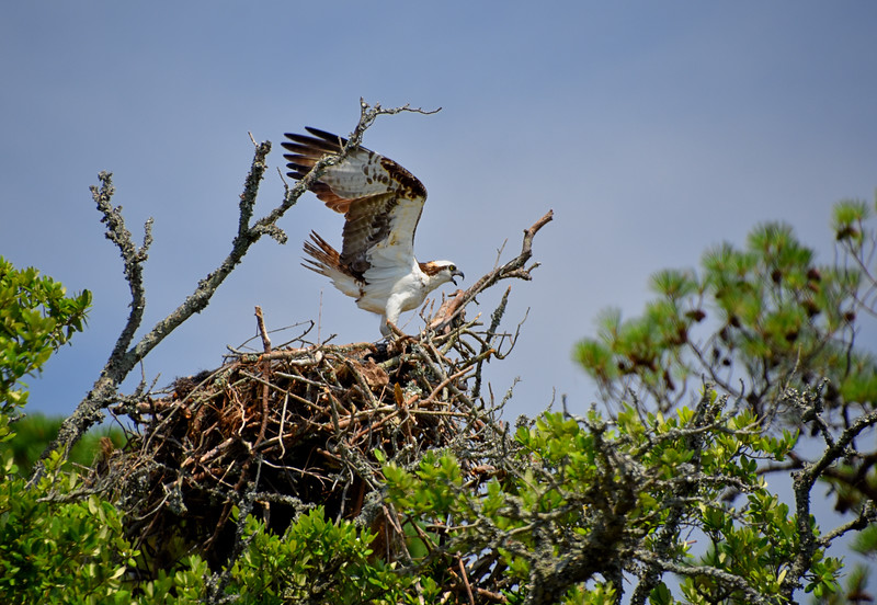 Osprey-North-Carolina-Outer-banks.jpg