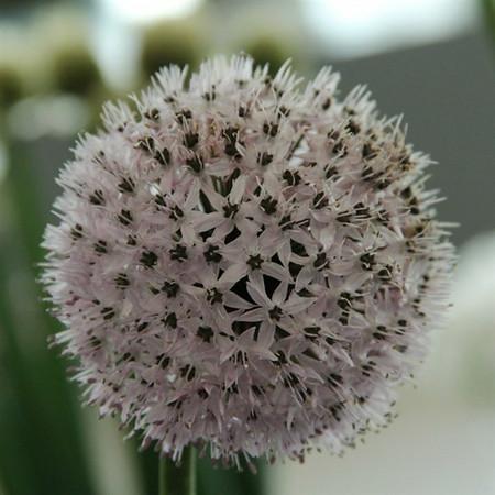 Allium chelotum.jpg