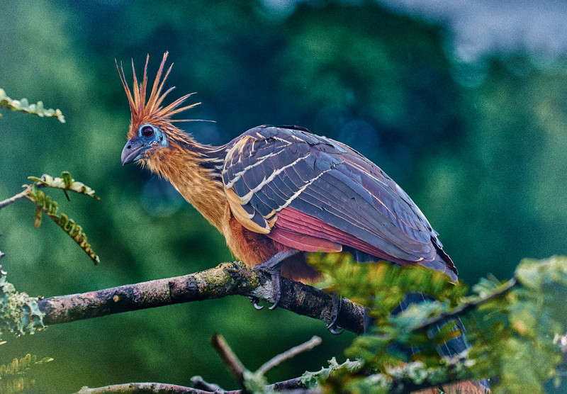 Hoatzin or Stinky Turkey