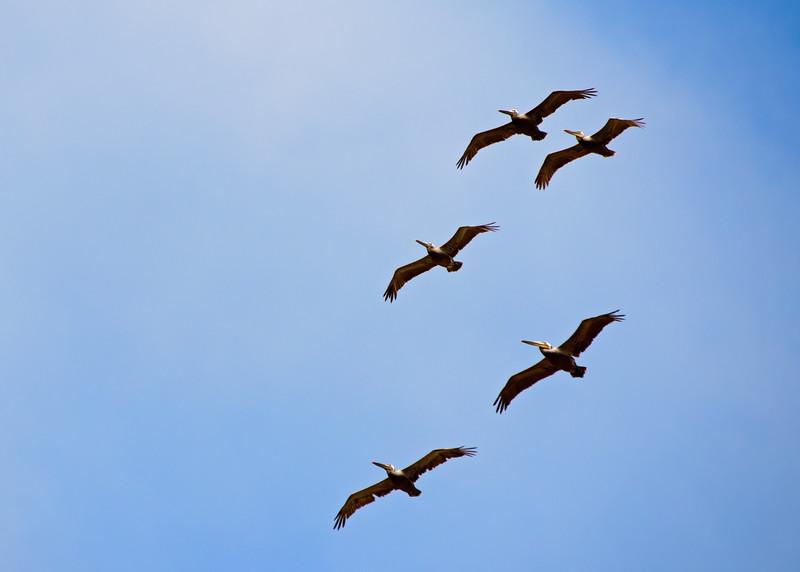Brown pelicans over Palos Verdes.