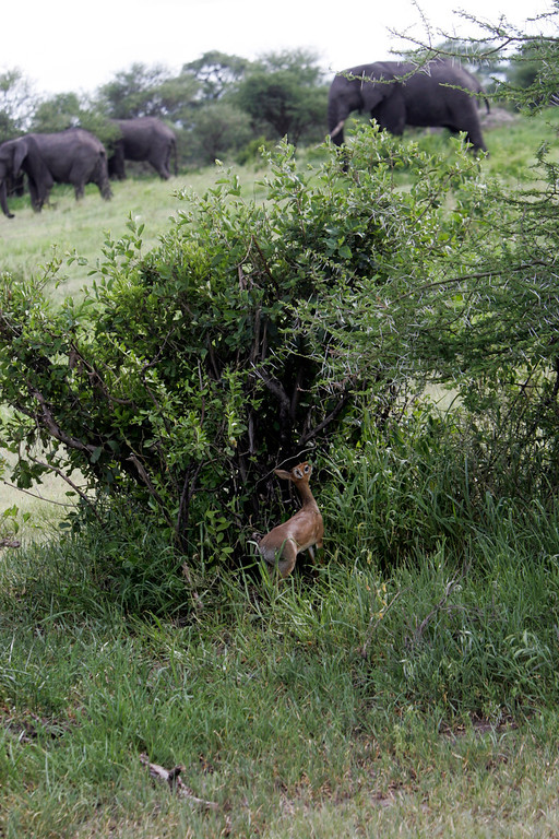 . A tiny dik dik, one of Africa\'s smallest antelope is dwarfed by a herd of African elephant, the world\'s largest land mammal in Tarangire National Park, Tanzania, Africa.