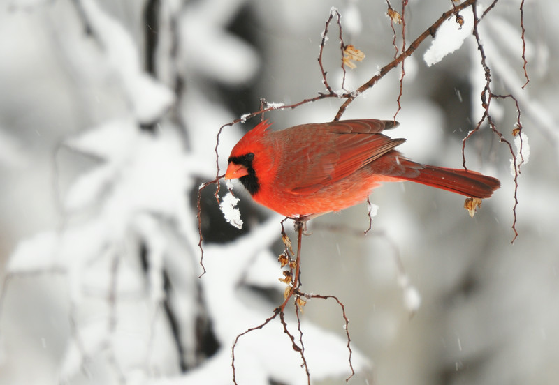 DSC_2127_snowy_cardinal_lg.jpg
