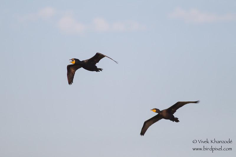 Double-crested Cormorants - Alviso, CA, USA