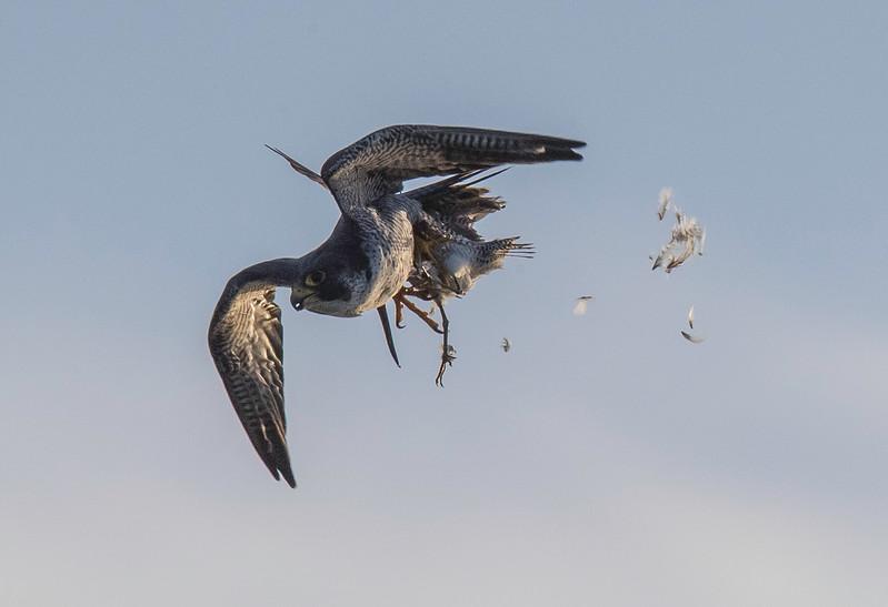 Hawk1.jpg
