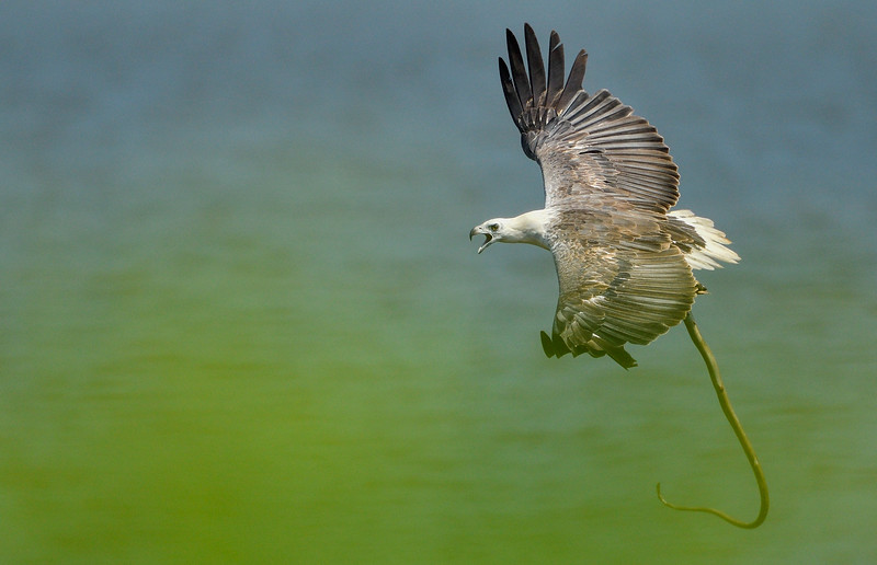 White-belied-sea-eagle-with-eel-catch-andaman-1.jpg