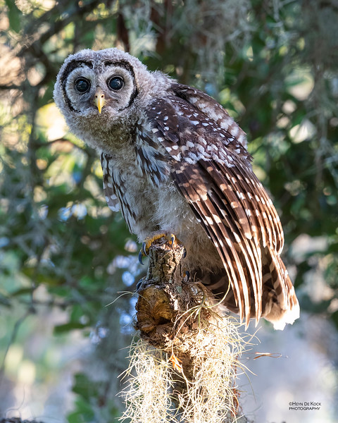 Barred Owl, juv, Circle B Bar, Lakeland, FL, USA, May 2018-3.jpg