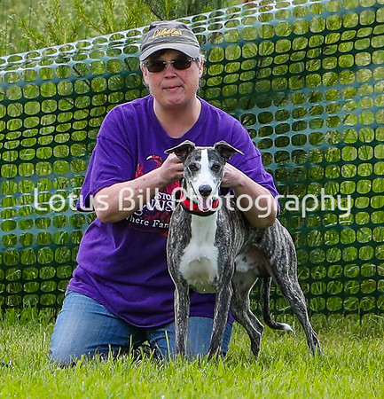 Whippet Brindle Wocket DH2