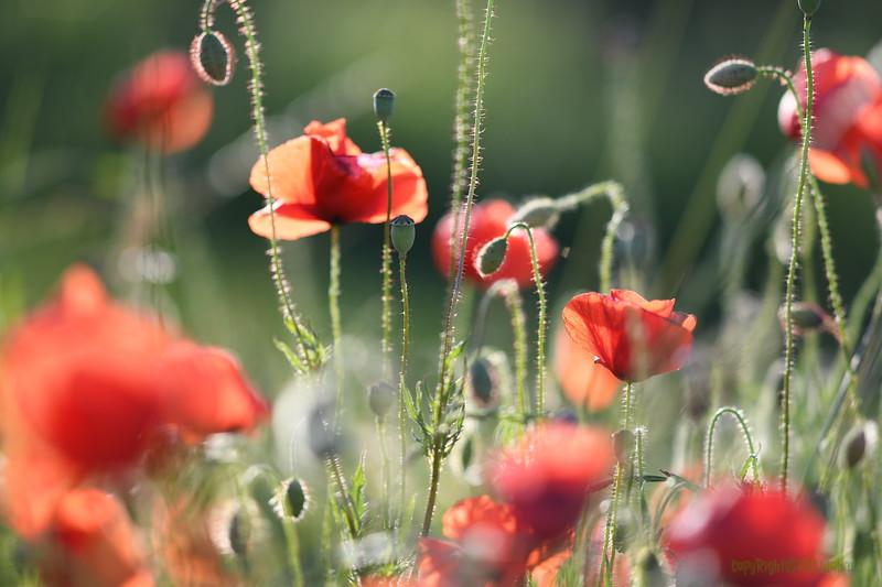 Poppys_Morges_08062019 (49).JPG