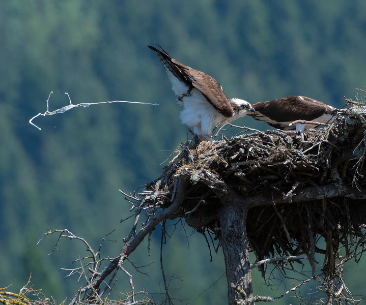 Osprey Keeping the Nest Clean