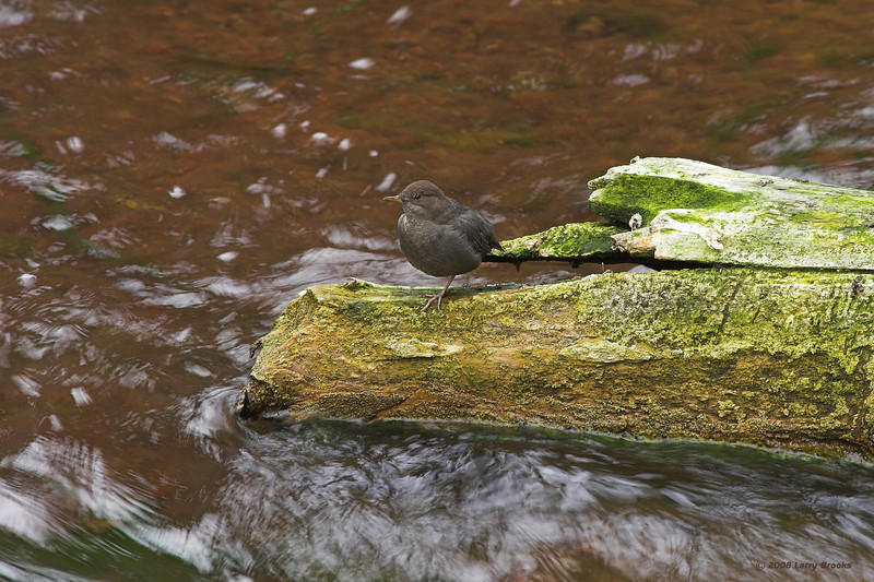 An American Dipper takes a rest after a heavy day of fishing at Newberry National Volcanic Monument in central Oregon