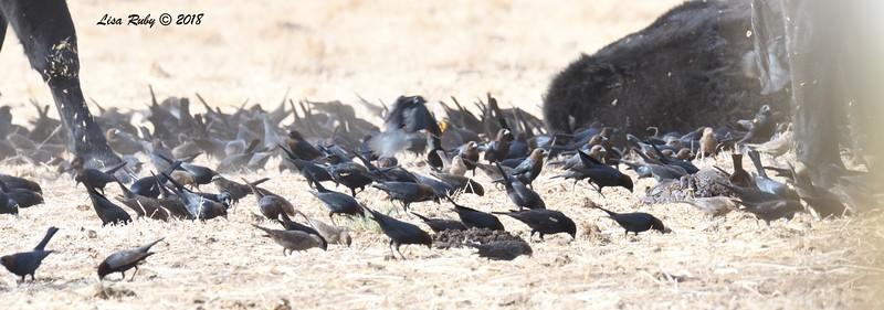 Tricolored Blackbirds and Brown-headed Cowbirds  - 1/7/2018 - Rangeland Road, Ramona