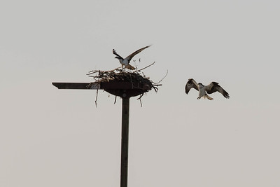 RYC Osprey