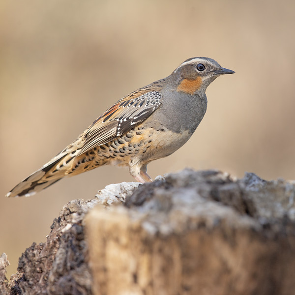 Spotted Quail-thrush female