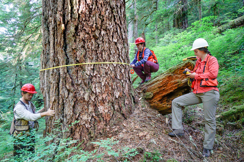 Crew measure the circumference of a Douglas fir in the H.J. Andrews Forest