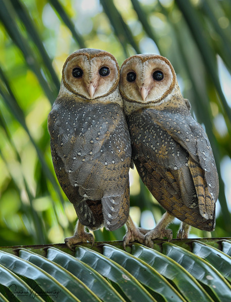Andaman-Barn-owl-pair-little-andaman.jpg