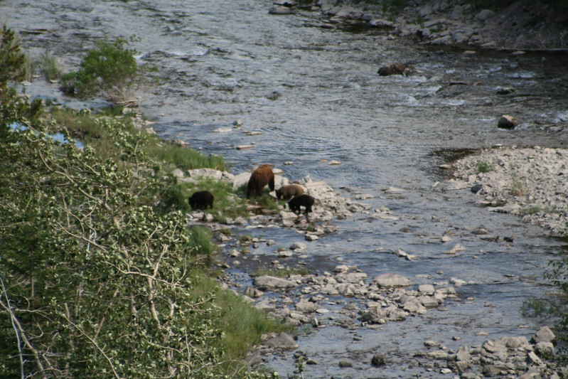 20110828 - 073 - GNP - Sow And 3 Bear Cubs Along Road By Many Glacier Hotel.JPG