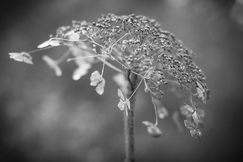 hydrangea_2016_005.jpg