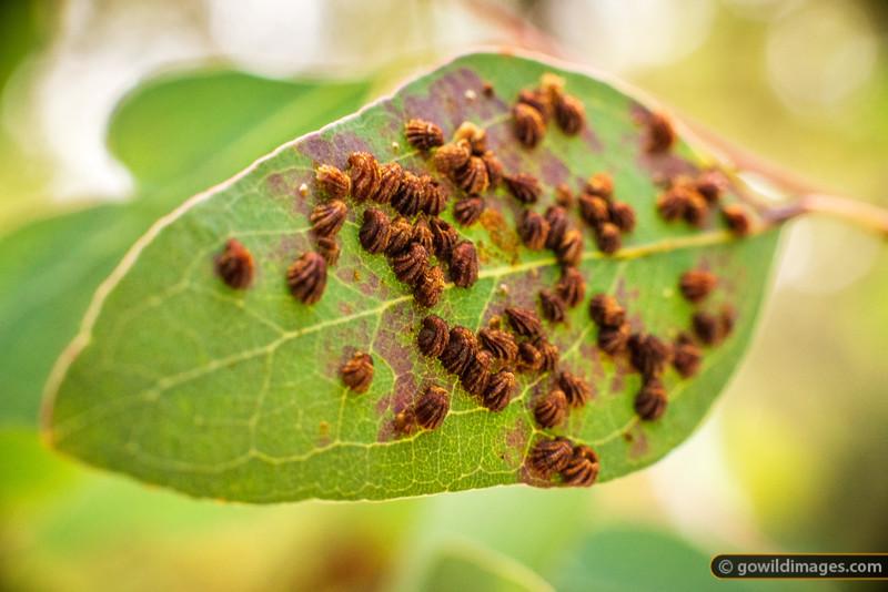 Leaf Pest