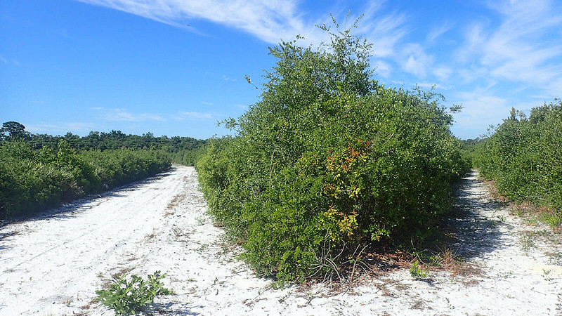 Sand road and adjoining trail