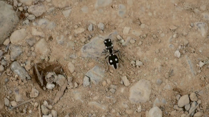 Video - Panda Ant is really a wasp