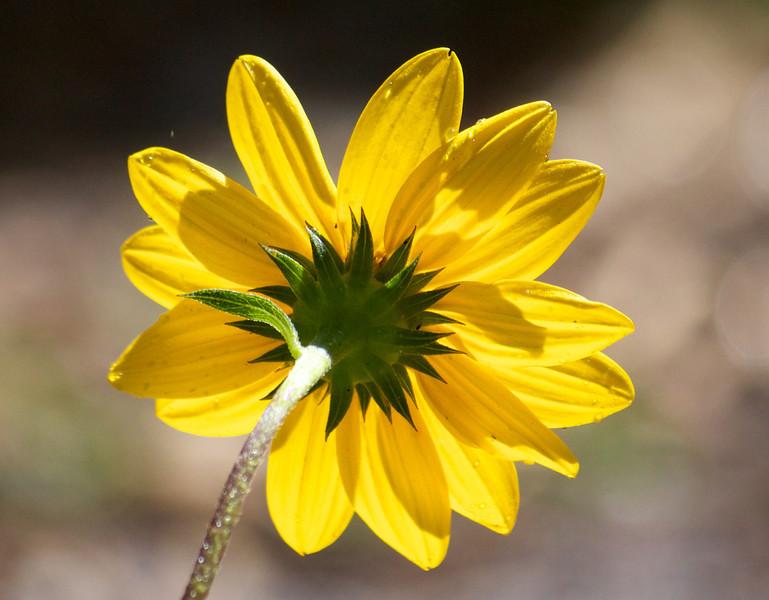 sunny beach sunflower