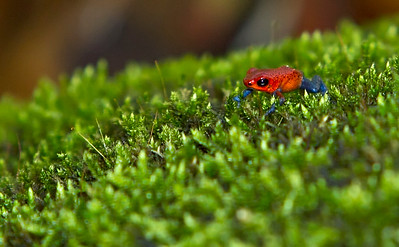 Blue-jeans Strawberry Poison-Dart Frog