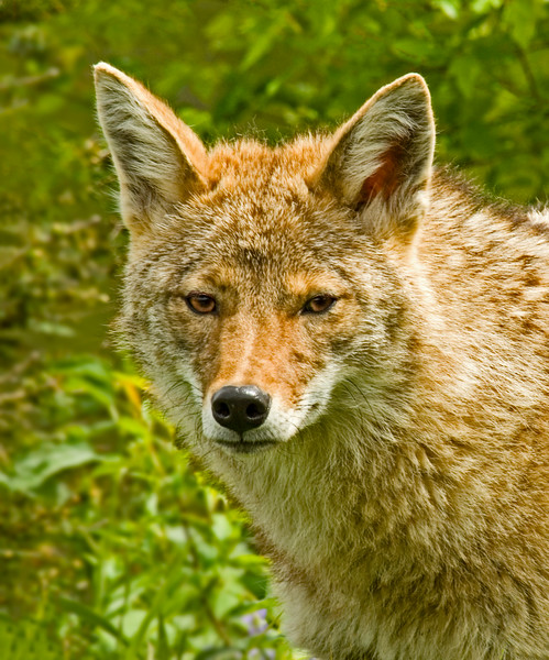 Coyotes-2.jpg